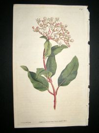 Curtis 1787 Hand Col Botanical Print. Common Laurustinus #38
